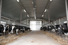 Cowshed On The Farm, Cows, Bulls Of Different Breeds, Milk And Cheese Production