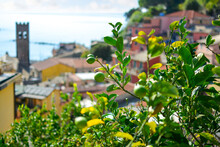 Lemons Ripen On A Tree In The Colorful Village Of Cinque Terre Italy With The Chiesa Di San Giovanni Battista, Church And Ligurian Sea Blurred In View