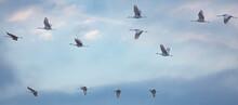 Sandhill Cranes In Flight.