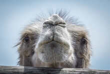 Humpbacked Camel In The Zoo. M...