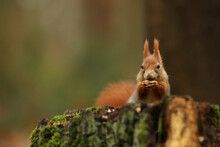 Cute Red Squirrel Sit On Stump Iin Autumn Orange Scene With Nice Deciduous Forest In The Background. Wildlife Czech.