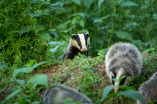 European Badger, Meles Meles, Near Your Burrow. Badger Family Play In The Forest. Badger Offspring Outside The Burrow.