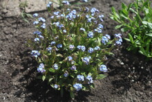 Blue Forget Me Not Flowers, In...