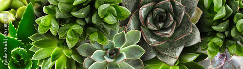 Obraz Different beautiful succulents as background, top view. Banner design - fototapety do salonu