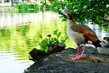 Egyptian Goose On The Ground S...