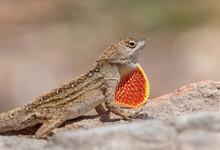 Brown Anole Lizard (Anolis Sagrei) Displaying, Galveston, Texas, USA