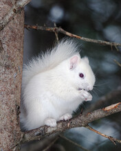 Albino Squirrel Sitting On A T...