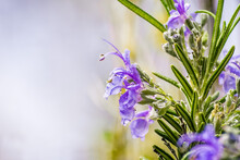 Close Up Of Purple Rosemary Flowers; Salvia Rosmarinus, Commonly Known As Rosemary, Is An Aromatic Evergreen Shrub Native To The Mediterranean Region;