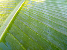 Morning Dew On Banana Leaves A...