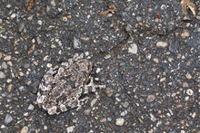 Gray Tree Frog Camouflaging On...