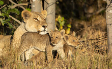 One Adult Female Lion And Her Two Baby Cubs Resting Under A Tree In Full Sunlight In Savuti Botswana
