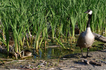A Canada Goose Mother Guards Her Goslings As The Feed Amongst The Reeds