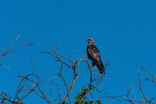 Juvenile Mississippi Kite Perched In Bare Tree