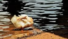 Duck Preening Its Fur