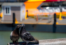 Two Pigeons Kissing On A Pier