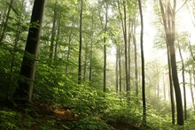 Beech Trees In Spring Forest O...