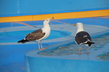 Two Seagulls Drinking Waters F...