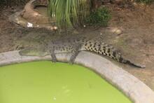 Some Crocodiles Sunbathing Close To Their Pond.
