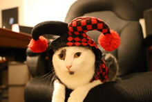 Cat Dressed As A Jester