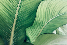 Abstract Tropical Green Leaves Pattern, Lush Foliage Houseplant Dumb Cane Or Dieffenbachia The Tropic Plant..