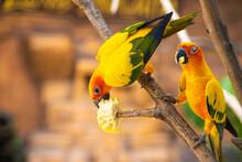 Pair Of Lovebird A Bright Oran...
