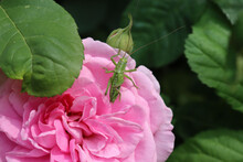 Green Grasshopper On A Pink Ro...