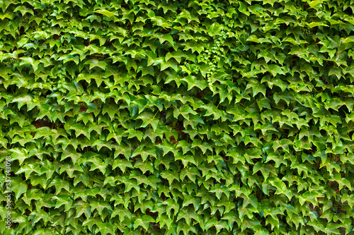 Valokuva Stone wall in the garden entwined with a green plant.