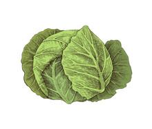 Hand Drawn White Cabbage