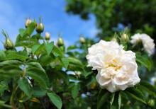 White Rose Against The Blue Sky In The Garden.