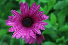 Purple African Daisy Flower