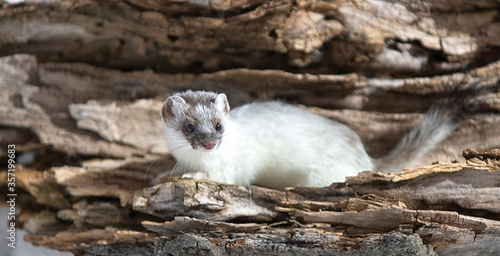 Canvas Print Ermine (stoat) in winet plumage
