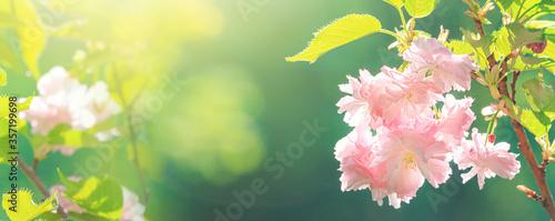 Foto Beautiful blossom pink sakura cherry tree and green leaves in soft sunlight