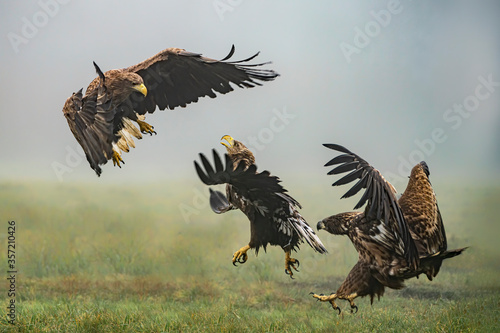 Three battling White tailed eagles (Haliaeetus albicilla) appear to be performing karate mid-air Canvas Print