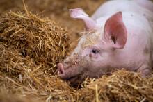 Schweinehaltung Auf Stroh
