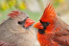 Northern Cardinal Pair Macro I...