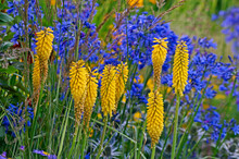 Close Up Of A Yellow And Blue Garden Border With Kniphofia