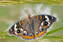 Macro Of Buckeye Butterfly On Thistle Plant