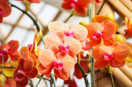 Leinwand Poster Beautiful Phalaenopsis Orchid flower blooming in garden floral background