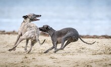 Two Dogs Playing In The Sand