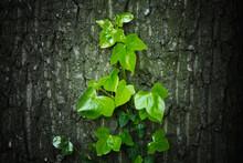 Green Climbing Plant On A Tree...