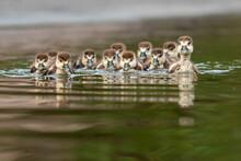 Zehn Kleine Entlein Schwimmen Auf Dem See...