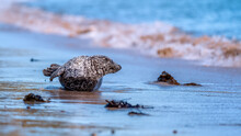 Common Seal (harbour Seal) On ...