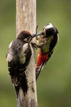 Great Spotted Woodpecker  Mother Fed To Her Young  - Dendrocopos Major - Pico Picapinos