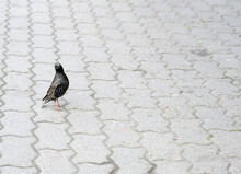 Bird Starling Sits On Paving Slabs.