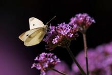 Large White (Pieris Brassicae) Perching On Purple Blooming Wildflowers