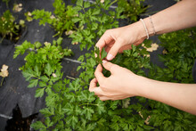 Girl Picking Herbs In A Green House, Close Up Of Hands