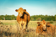 Brown Two Cows Grazing In The ...
