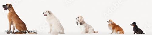 Fotografie, Tablou Collage of dogs in descending size