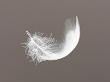 Feather Floating On Gray Backg...