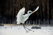 Elegant White Heron Landing On...